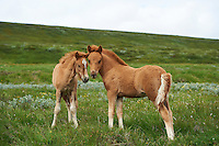 Icelandic Ponies in North Iceland.