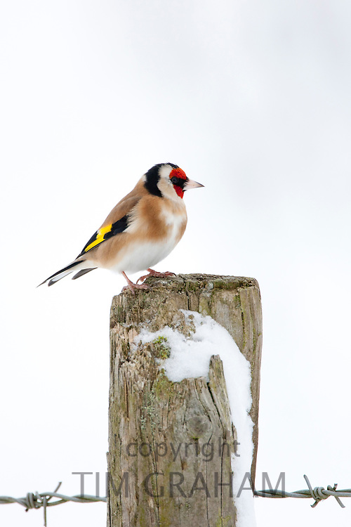 Goldfinch perches by snowy slope in winter in The Cotswolds, UK