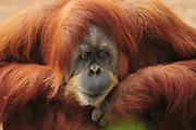 Orangutan, Pongo pygmaeus close up