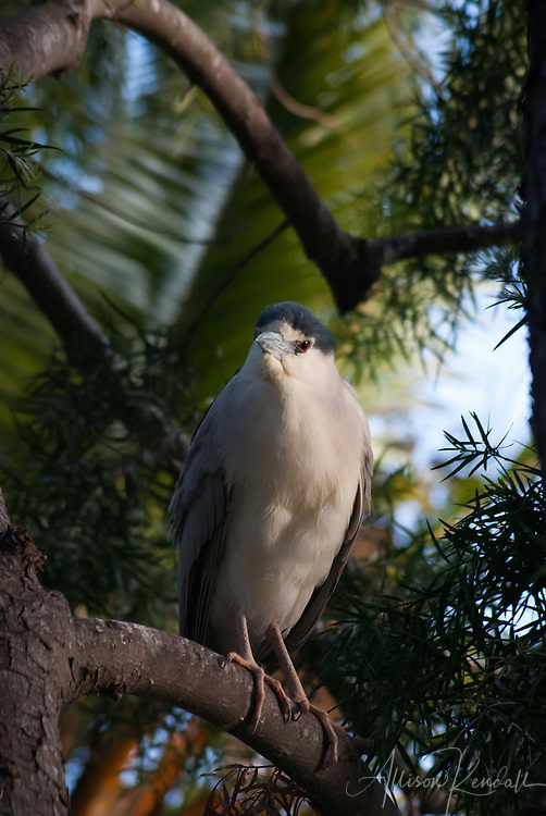 A black-crowned night heron rests in a tree at sunset
