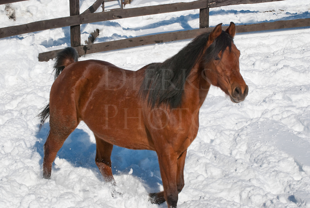 Picture of an Arabian bay mare in a winter paddock covered in snow.