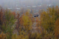 Elk (Alces alces), forollhogna national park, norway, september