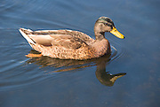 Blydenburgh Park, LI Duck