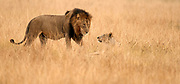 Male and female lion meet on the savannah of Queen Elizabeth National Park, Uganda.