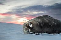Weddelrobbe, Antarktis