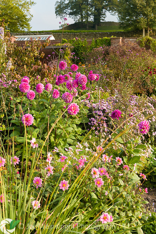 Colouful Dahlias brighten herbaceous borders in the Walled Garden at Holehird Gardens, Cumbria, photographed in October.