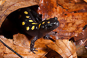 Spotted Salamander (Ambystoma maculatum)<br /> CAPTIVE<br /> Northern Georgia<br /> USA<br /> HABITAT &amp; RANGE: Hardwood &amp;  mixed deciduous forests. Usually beneath ground level but pond nearby needed for laying eggs. Eastern United States.