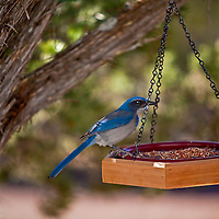 "The ""blue jay"" of dry Western lowlands, the Western Scrub-Jay combines deep azure blue with dusty gray-brown and white. The rounded, crestless head immediately sets it apart from Blue Jays and Steller's Jays. These birds are a fixture of dry shrublands, oak woodlands, and pinyon pine-juniper forests, as well as conspicuous visitors to backyards-From ""All About Birds"" at the Cornell Lab of Ornitholgy."