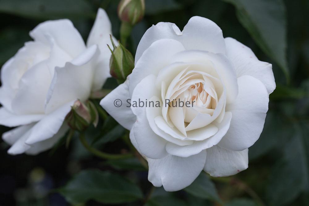 Rosa 'Iceberg' - floribunda rose