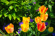 Tulips at Claude Monet house and gardens, Giverny, France