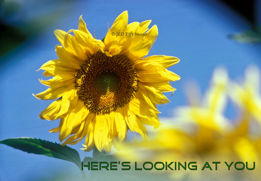 Single sunflower blazing below a bright blue sky