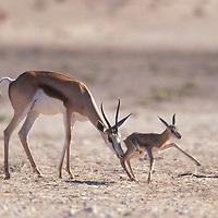 South Africa, Kalahari Gemsbok NP, Springbok (Antidorcas marsupialis) mother helps newborn calf to feet