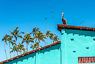 Puerto Vallarta, Mexico: A pelican sits on top of a colorful turquoise building with tile roof, exterior of a stucco restaurant on the Malecon. Also shown: palm trees and frigate birds against blue sky.