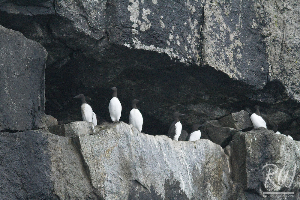 Common Murres (Uris aalge) at the Chiswell Islands, Alaska Maritime National Wildlife Refuge, Alaska