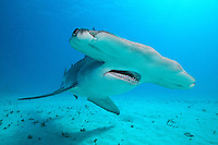 Great Hammerhead Shark Approaching Closely<br /> <br /> Shot in Bahamas