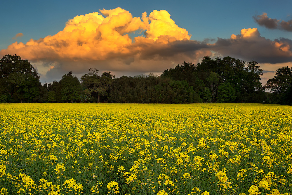Huntersville Canola Flowers 7:41 PM