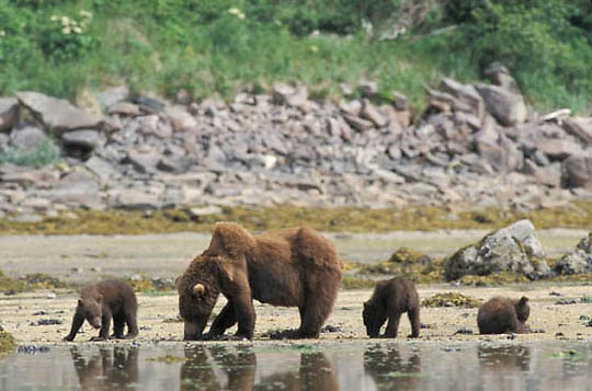 Alaskan Brown Bear, (Ursus middendorffi)  Female with cubs clamming. Coastal Alaska.