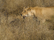 Lioness on the move in  Kruger NP, South Africa