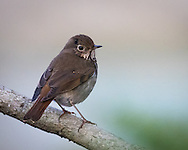 A hermit thrush pauses breifly on a branch in the last night of the day, Redwood Shores, CA.