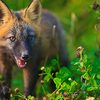 "A baby ""Crossfox"" in the wild, looks through grasses and flowers during fall in the Alaskan wilderness. A cross fox describes the coloring of a half Red fox and half Blue fox mixture. The combination of colors gives the fox a striking look."