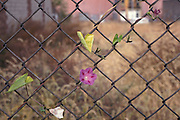 flower growing in fence