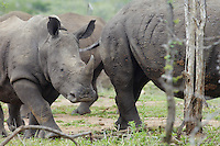 Baby Rhino walks with herd