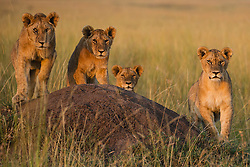 Lion cubs (Panthera leo) awaiting the return of the pride from hunting, Masai Mara, Kenya
