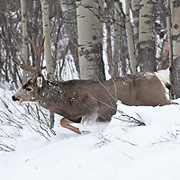 winter rutting muledeer buck charging, lunging, running though deep snow cold aspen trees forest