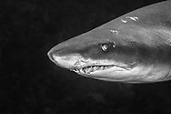 "The Sand tiger shark or Spotted ragged-tooth shark (Carcharias taurus) belongs to the family of «Odontaspididae». He is present in three big oceans, Red Sea and in the Mediterranean Sea. He can live more than 20 years for a maximum size of 2,80m, sometimes more of 3m. We distinguish him by a massive and lengthened body, the sides are grey-brown and the white stomach. His snout and of conical shape. He has two wide dorsal fins with almost equal size. His mouth is furnished with three rows of functional teeth disentangled in the shape of canine. Wide spots can cover the whole body and disappear when it reaches its sexual maturity. He possesses the peculiarity than to gulp down of the on-surface air to compensate its buoyancy because he has no swim bladder. The shark-bull is an ovoviviparous species. One of its peculiarities is also called intra-uterine cannibalism «oophagie». The gestation is of 9 months for one small only one.The Sand tiger shark is put in danger by its intensive, commercial and sports fishing. He is classified ""Vulnerable"" by the red list of the UICN."
