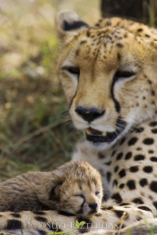 Cheetah<br /> Acinonyx jubatus<br /> 6 day old cub resting on mother<br /> Maasai Mara Reserve, Kenya