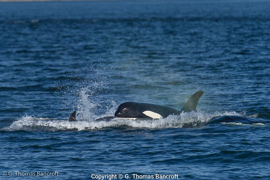 Large young following its mother from a transient Killer Whale pod