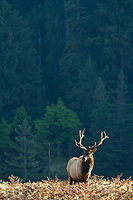 Rosevelt elk  in in Prairie Creek Redwoods State Park in northern California.