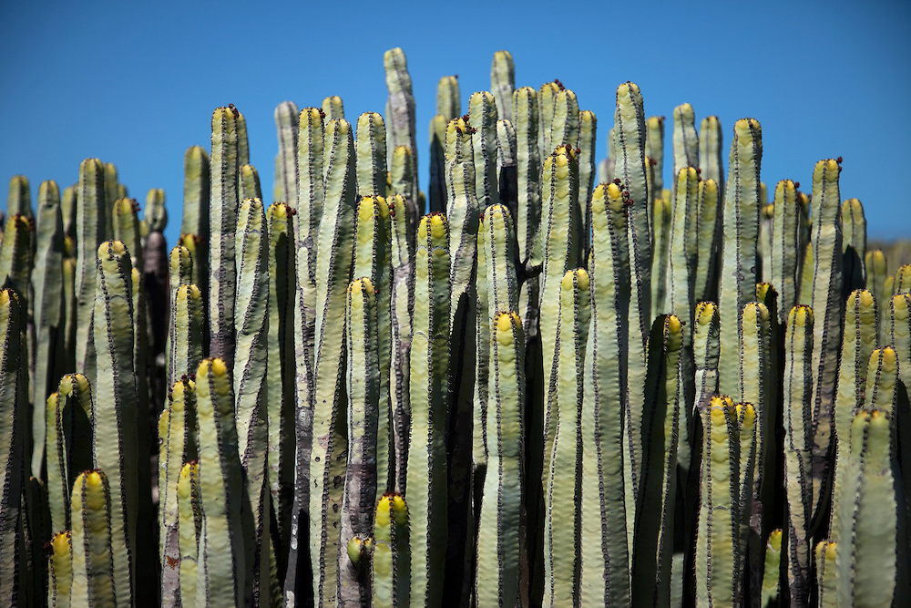 Kandelaber kaktus, Teno, North Tenerife.