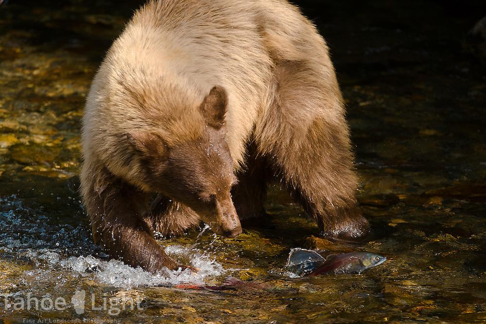Bears fishing on taylor creek in south lake tahoe