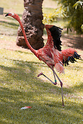 Flamingo flaps its wings in an etempt to take off