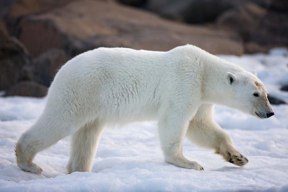Norway, Svalbard, Langøya Island, Young Polar Bear (Ursus maritimus) walking on shore ice along along shore on summer evening