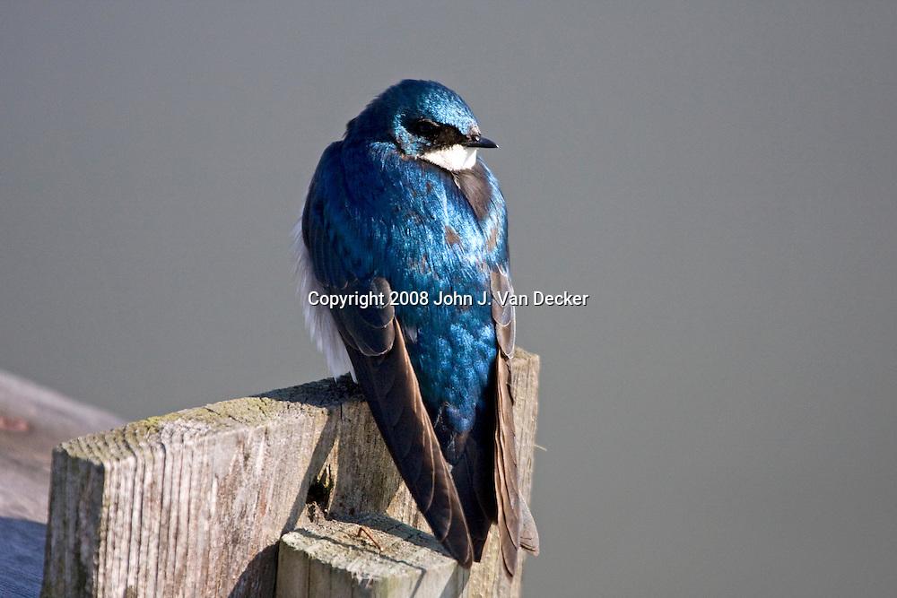 Tree Swallow, Tachycineta bicolor, looking over its shoulder