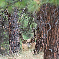alert trophy mule deer velvet buck in native grass pine forest morning lightv