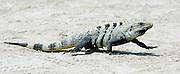 CAYE CAULKER, : March 14, 2006 -- CAYE CAULKER, BELIZE --   in  Caye Caulker, a small island off Belize March 14....Steve McKinley Photo.