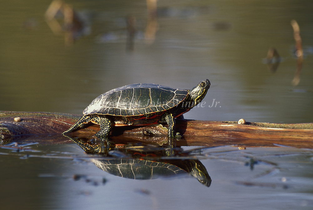 Westrn painted turtle. Rogers Lake, Montana.