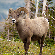 Bighorn Sheep in Glacier National Park, Montana, USA