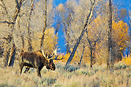 A big Bull Moose strolls through yellow cottonwoods during Fall Colors in Grand Teton National Park