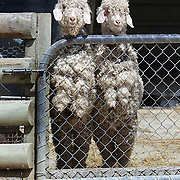 Sheep at The Hawke's Bay Farmyard Zoo. The zoo provides  educational opportunities with animal feeding for children and a safe, clean spacious environment with many different varieties of farmyard animals. Hawke's Bay Farmyard Zoo, East Road. Haumoana, Hastings. Hawkes Bay, New Zealand. 12th January 2011. Photo Tim Clayton.