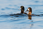 Lesser Scaup, Aythya affinis, male & female, Harsen's Island, Michigan