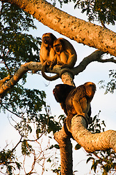 A family of black howler monkeys ( Alouatta caraya) make their morning call in the warm sunlight, Mato Grosso,  Pantanal, Brasil,South America