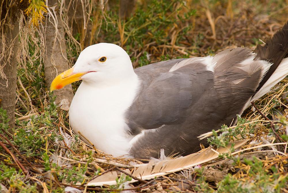 Western gull (Larus occidentalis) on nest, Anacapa Island, Channel Islands National Park, California