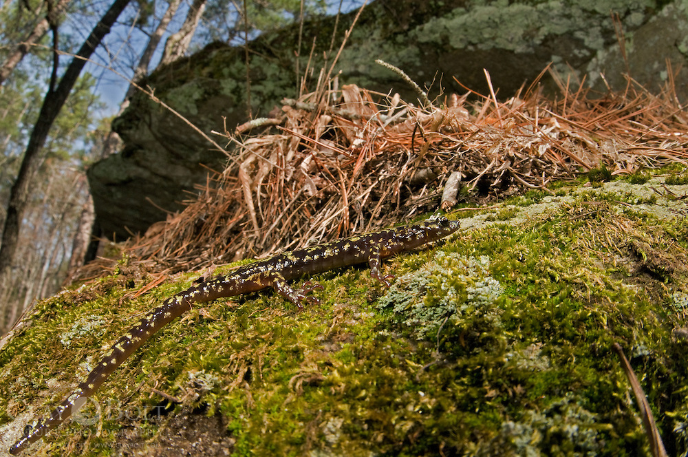 A Green Salamander (Aneides aeneus) walks across the dry granitic, Southern Appalachian outcrop in which it lives.