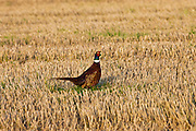 Male cock pheasant among stubble in a field in the Cotswolds, Gloucestershire