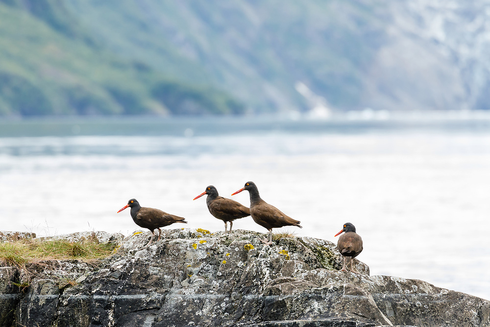 Black Oystercatchers (Haematopus bachmani) on rock along Surprise Inlet in Harriman Fjord in Prince William Sound in Southcentral Alaska. Summer. Afternoon.