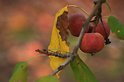 Ripe apple on an Apple tree